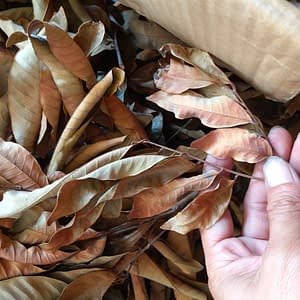 Natural Dimocarpus Longan Leaves